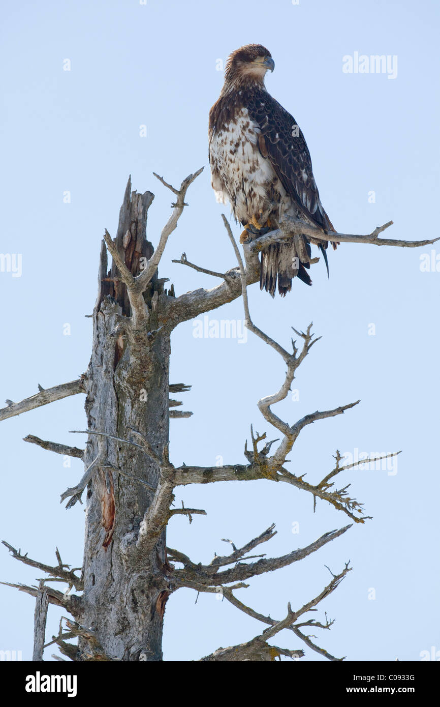 An immature Bald eagle perches in a dead saltwater-killed tree near Portage, Southcentral Alaska, Spring - Stock Image