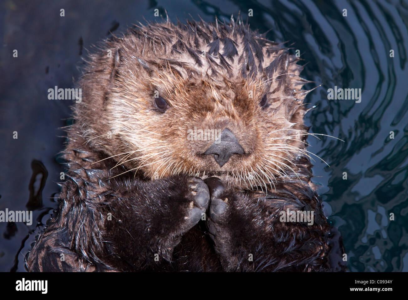 Close up view of a sea otter at the Alaska Sealife Center in Seward, Kenai Peninsula, Southcentrral Alaska, Summer, - Stock Image
