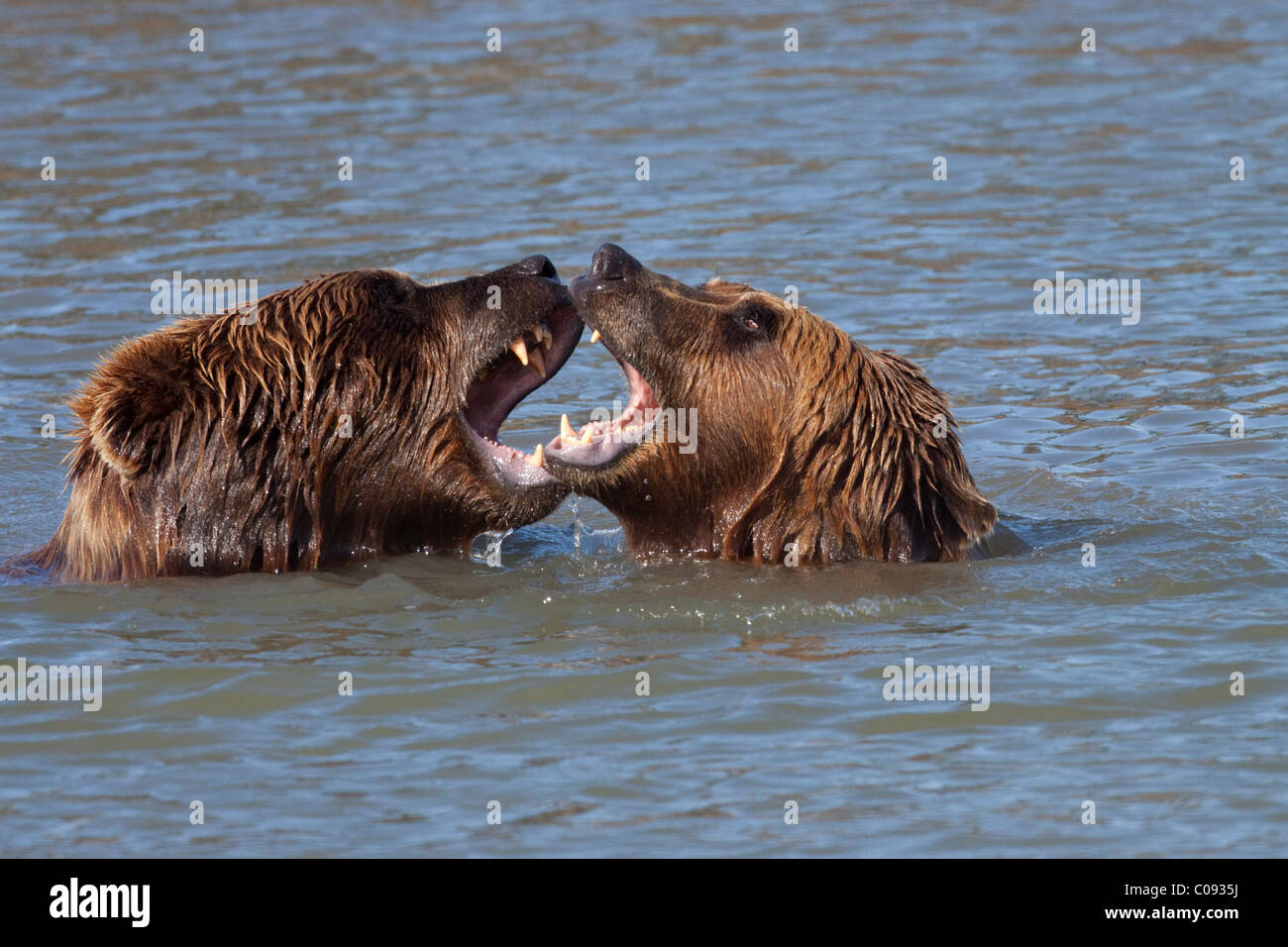 Pair of Brown Bears bare their teeth to one another while in a pond at the Alaska Wildlife Conservation Center, - Stock Image