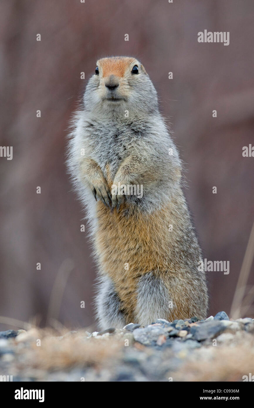Close up of an Arctic Ground Squirrel standing on its hind feet, Denali National Park and Preserve, Interior Alaska, - Stock Image