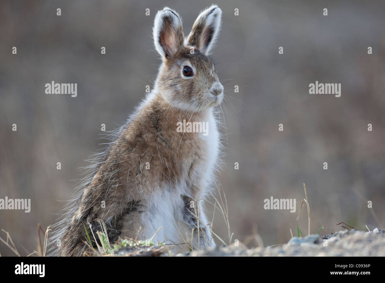 Close up of an Snowshoe Hare sitting and alert, Denali National Park and Preserve, Interior Alaska, Spring - Stock Image