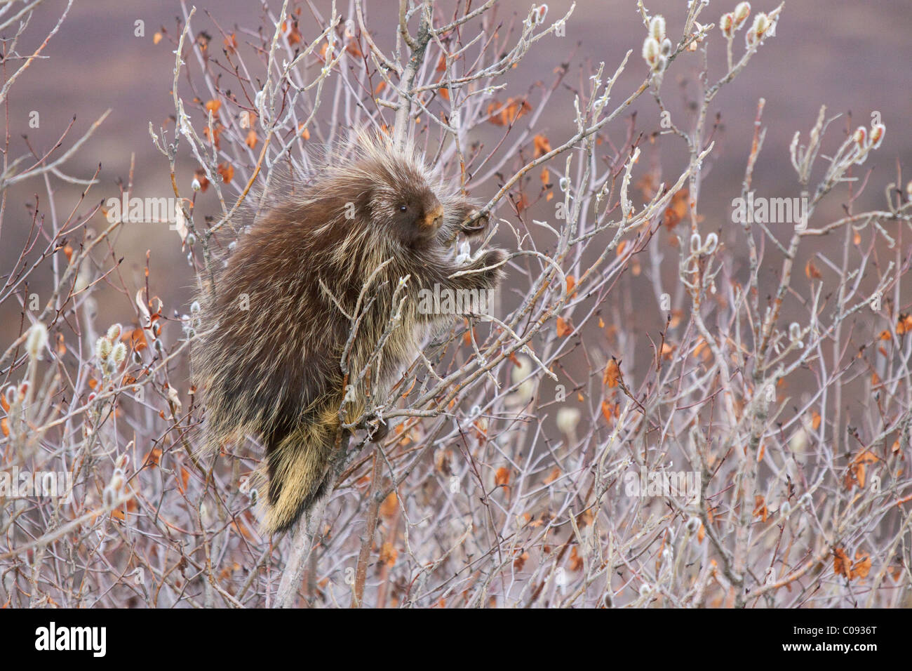 Porcupine hangs on a Willow Tree branch, Interior Alaska, Spring Stock Photo