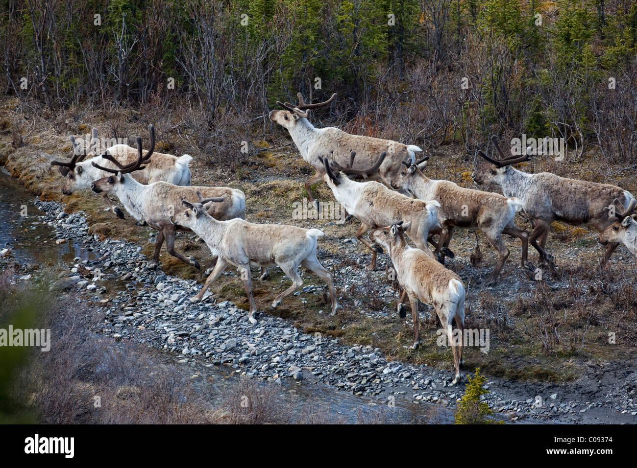 Band of caribou cross a shallow tributary of Savage River, Denali National Park, Interior Alaska, Spring - Stock Image