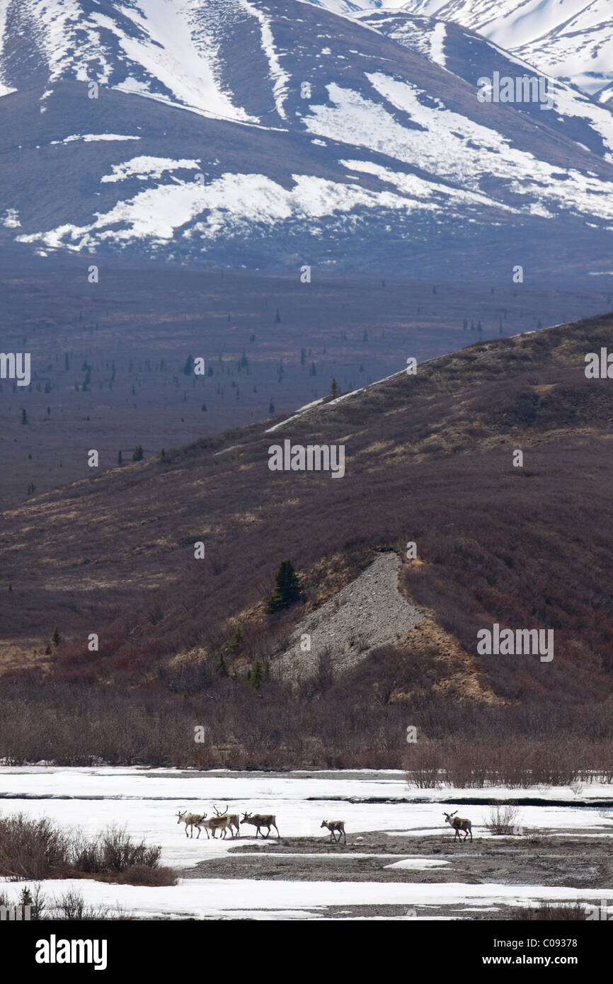 A band of caribou cross the snow covered flats of the Savage River, Denali National Park and Preserve, Interior - Stock Image