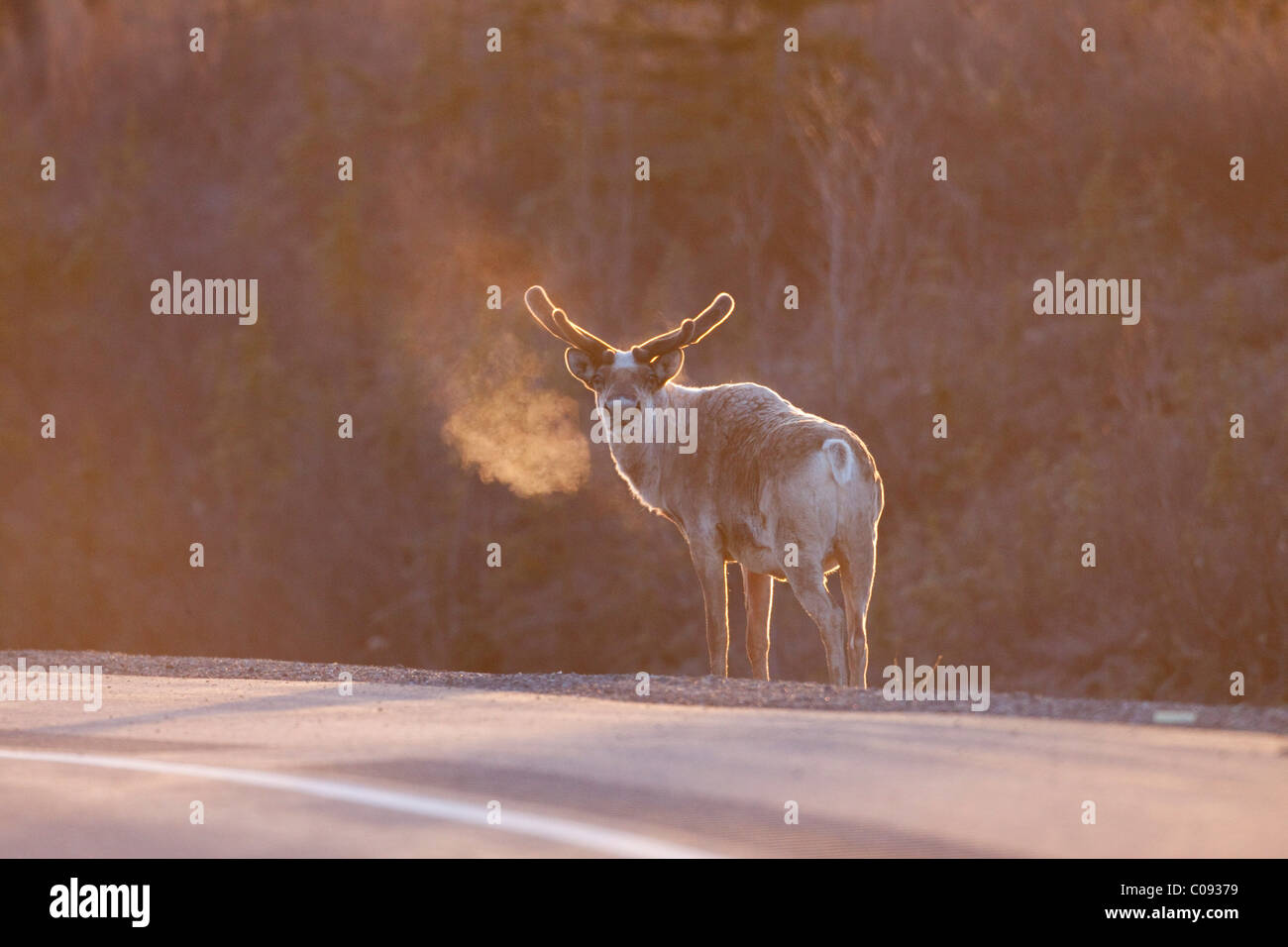 Bull Caribou stands alongside the George Parks Highway with frosty breath showing in early morning Light, Cantwell - Stock Image
