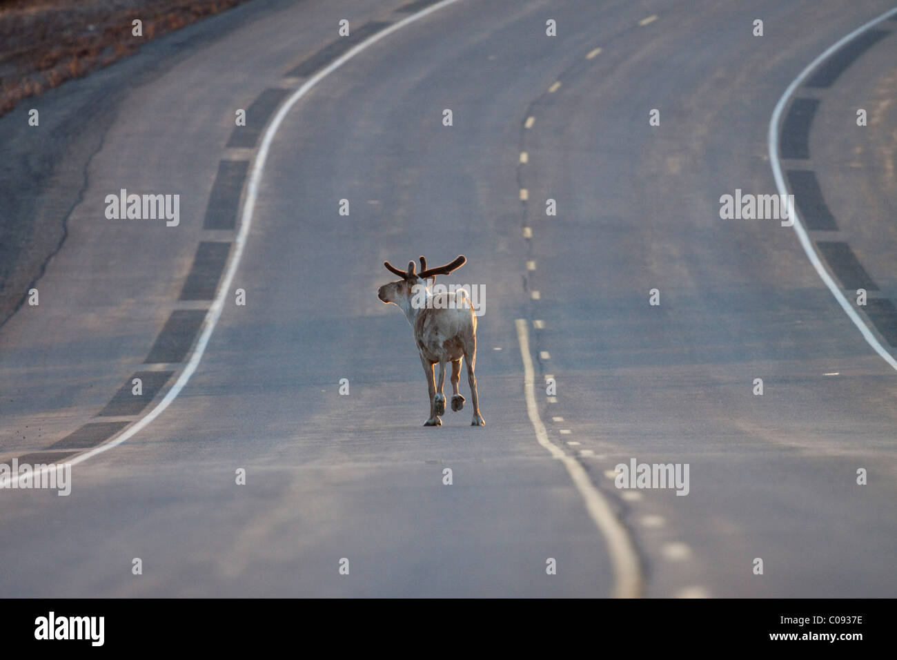 Bul caribou trots down the middle of George Parks Highway near Cantwell, Interior Alaska, Spring - Stock Image