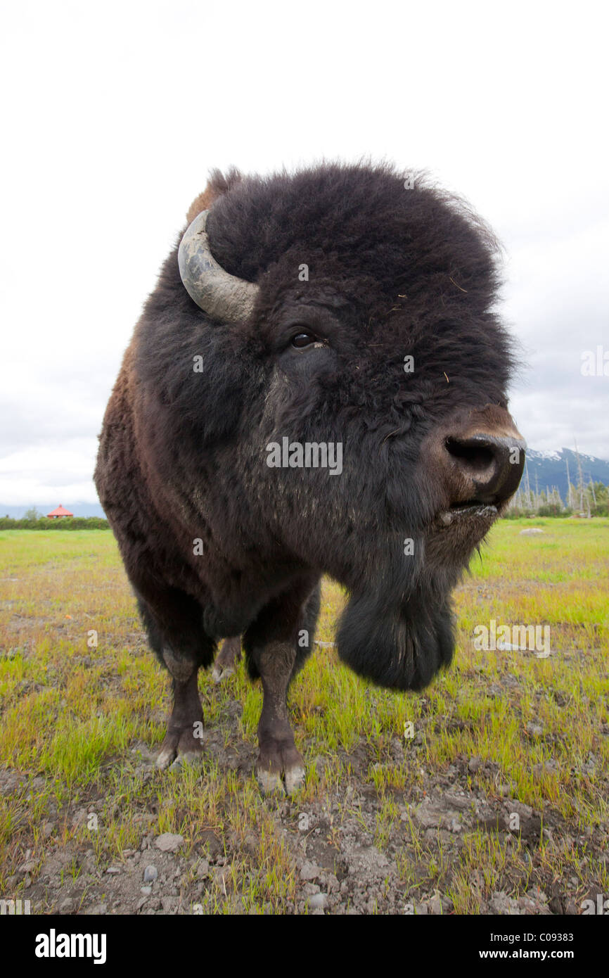 Close up of a Bull Wood bison with its tongue hanging out, Alaska Wildlife Conservation Center, Southcentral Alaska, - Stock Image