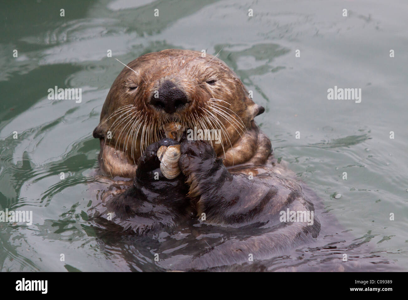 An adult Sea Otter eats a clam while floating in the calm waters of the Valdez Small Boat Harbor, Southcentral Alaska, - Stock Image