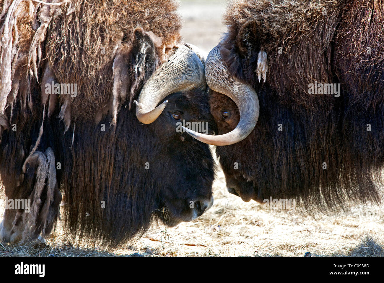 Close up of two bull Musk oxen standing face to face in a fighting confrontation, Alaska. Captive - Stock Image