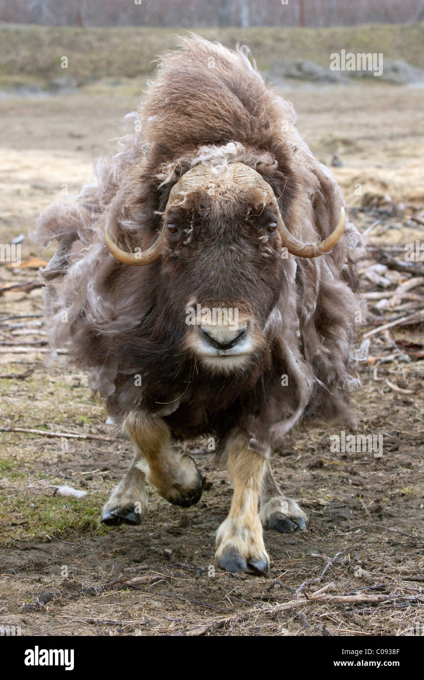 An aggressive cow Muskox charges, Alaska Wildlife Conservation Center, Southcentral Alaska, Summer. Captive - Stock Image