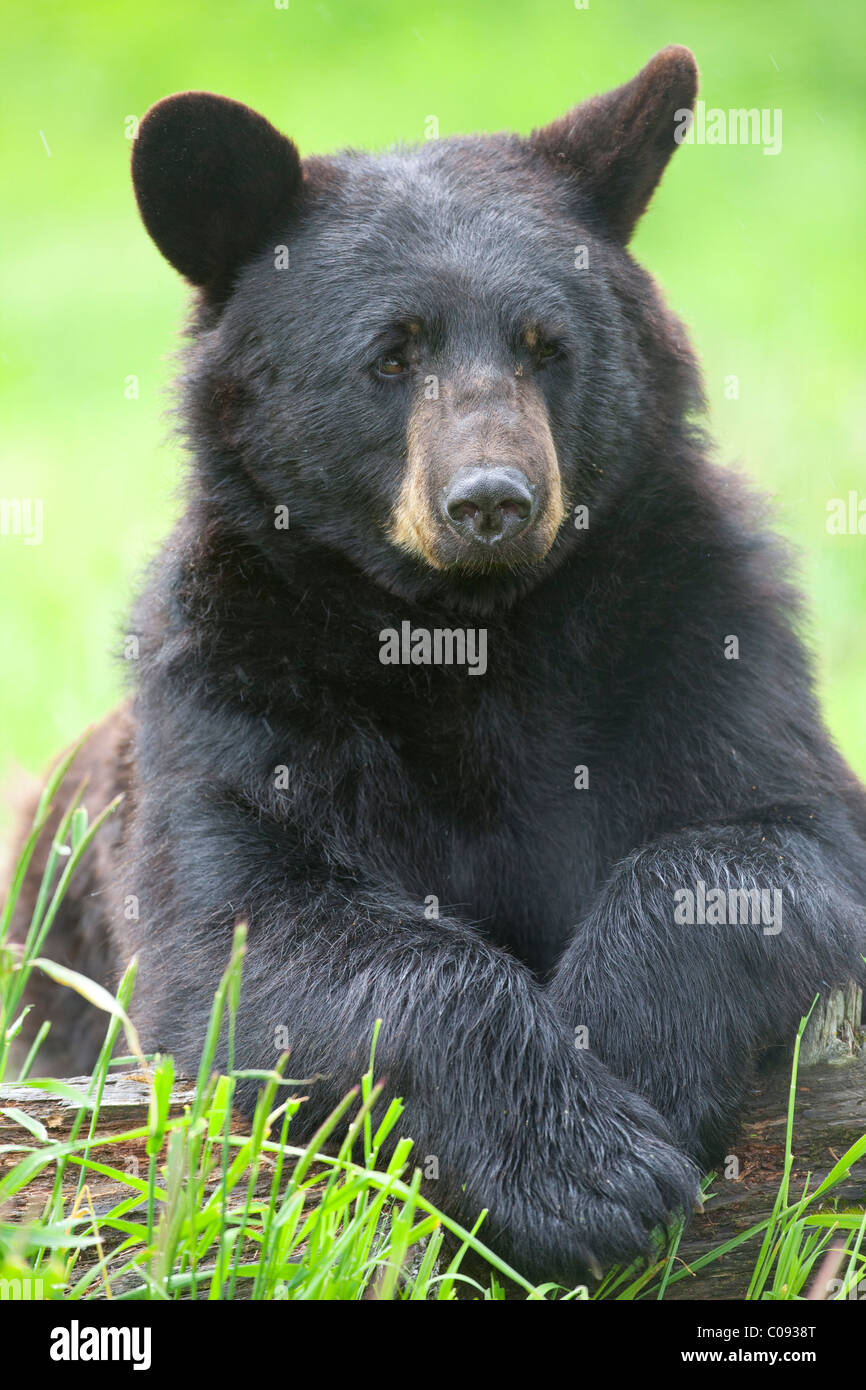 Portrait of a Black bear draped over a log at Alaska Wildlife Conservation Center near Portage in Southcentral Alaska. - Stock Image