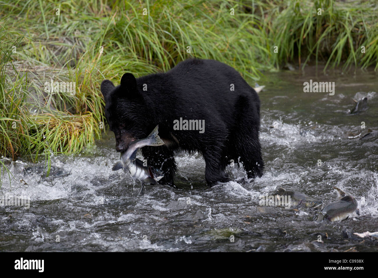 An adult Black bear grabs a Pink Salmon from a stream by Allison Point Campground in Valdez, Southcentral Alaska, - Stock Image