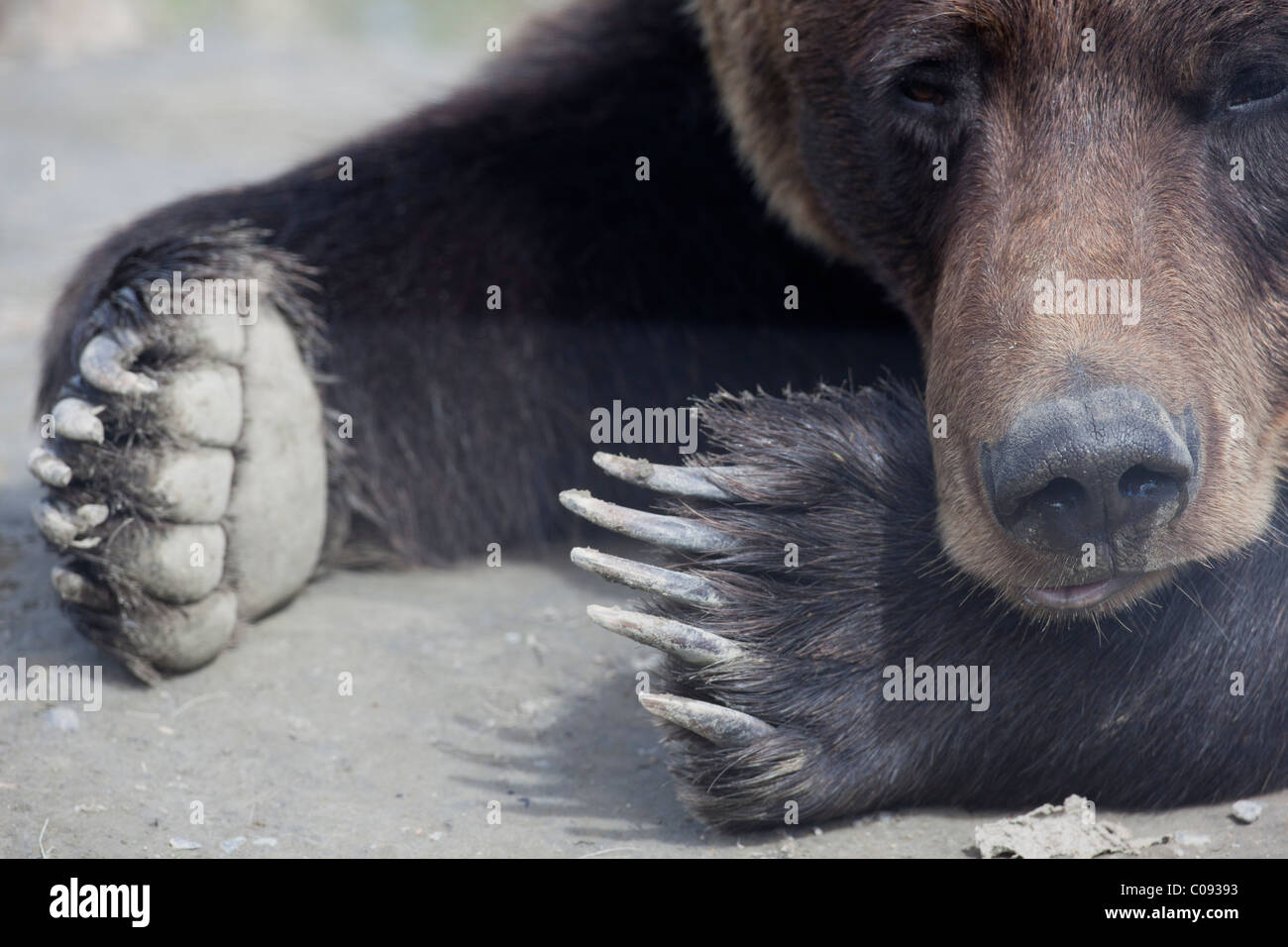 Adult Brown bear laying in dirt with only its face and paws showing, near Portage, Alaska. Captive - Stock Image