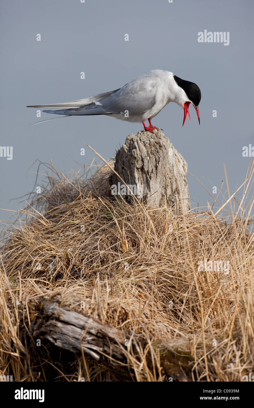 An adult Arctic Tern sits on a driftwood stump and calls, Southcentral Alaska, Spring - Stock Image