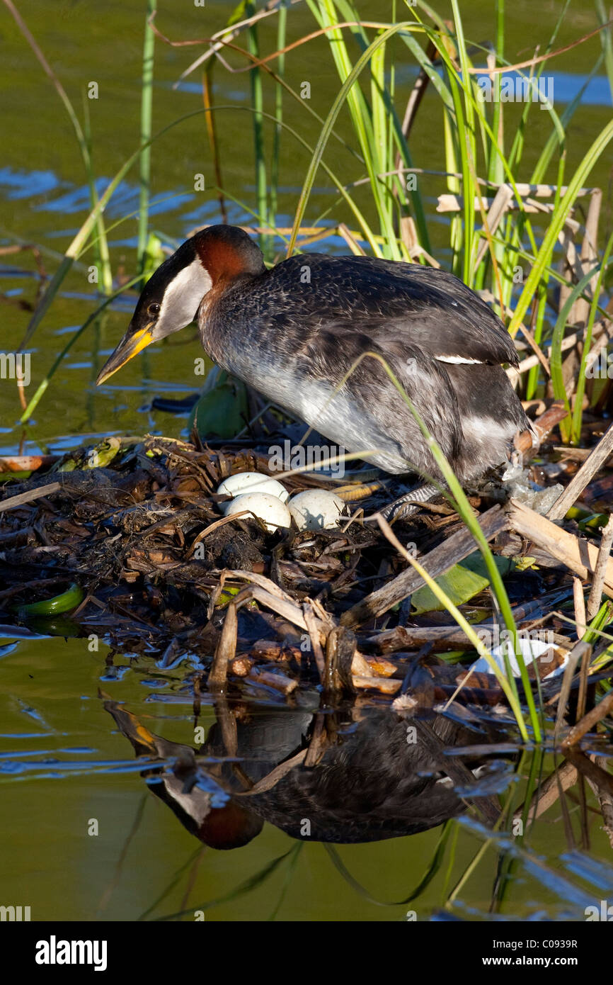 A Red-necked Grebe settles on its clutch of white eggs at a small pond in Anchorage, Southcentral Alaska, Summer - Stock Image