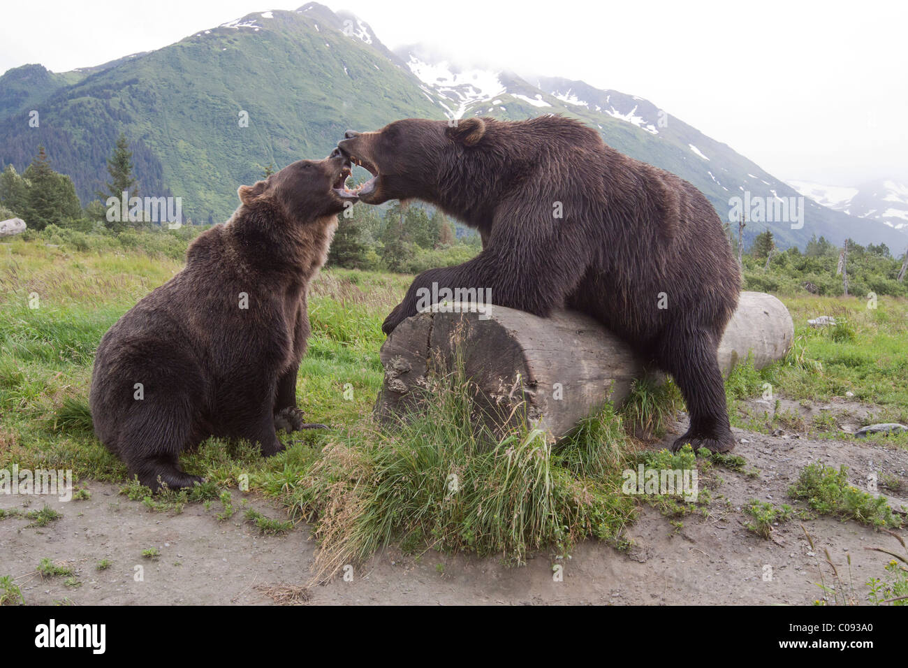 A pair of captive Brown bears snarl and touch open mouths over a log at Alaska Wildlife Conservation Center, Alaska. - Stock Image