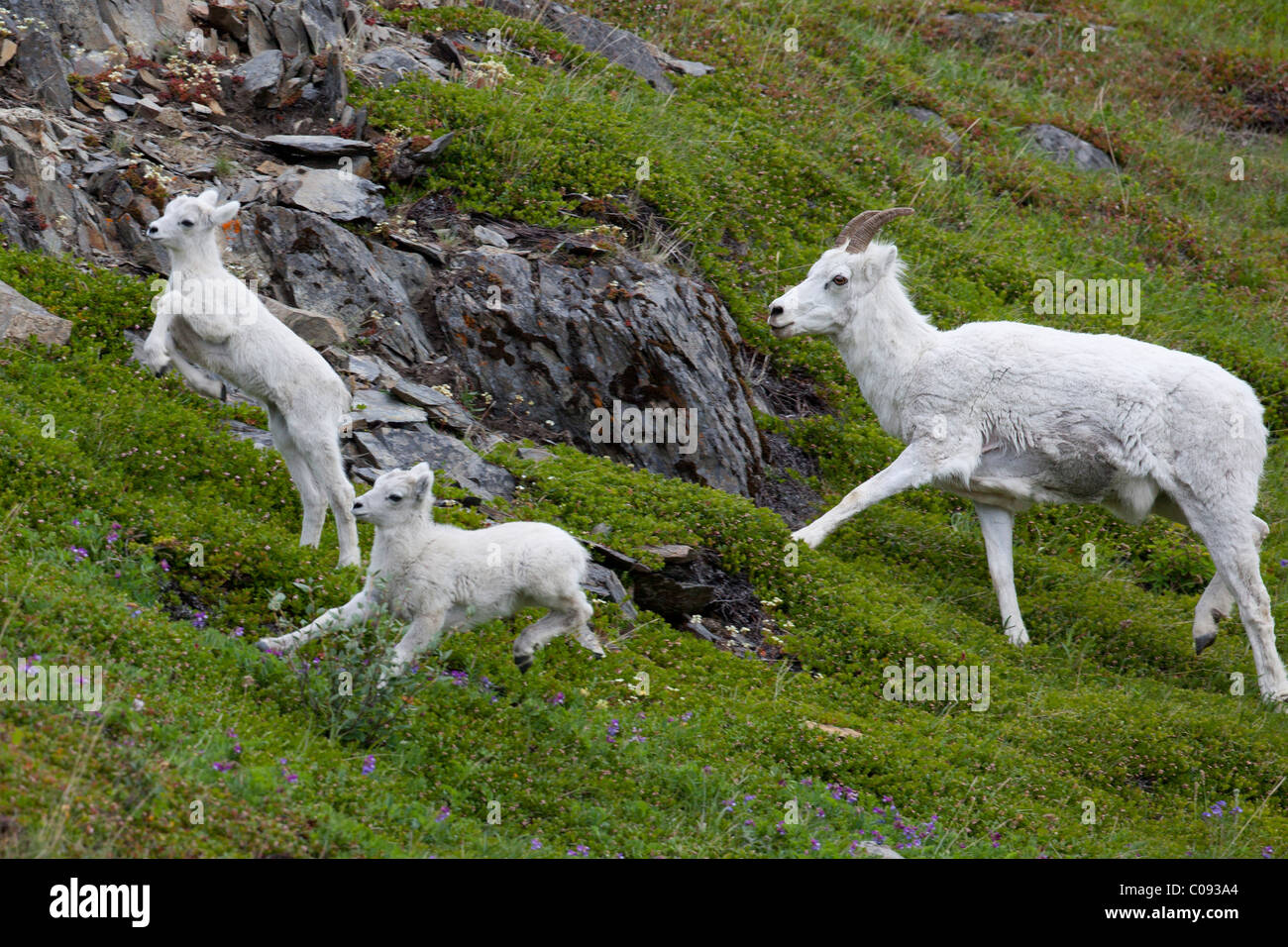 A Dall sheep ewe and lambs run through a green meadow at Windy Point along Seward Highway, Southcentral Alaska, - Stock Image