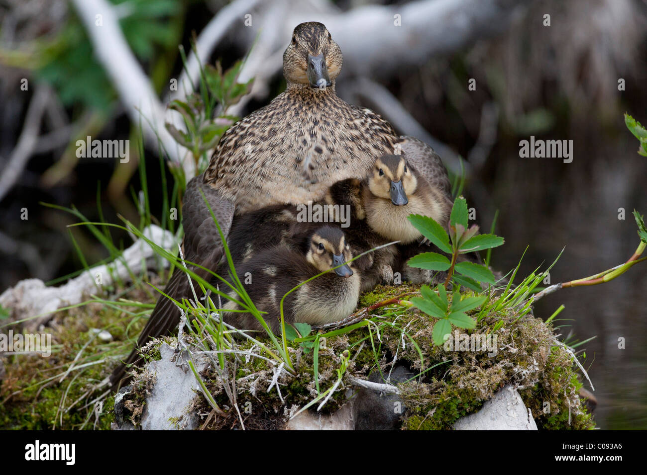 A Green-winged Teal hen and her clutch of ducklings sit on a grass covered stump in a small Anchorage pond, Southcentral - Stock Image