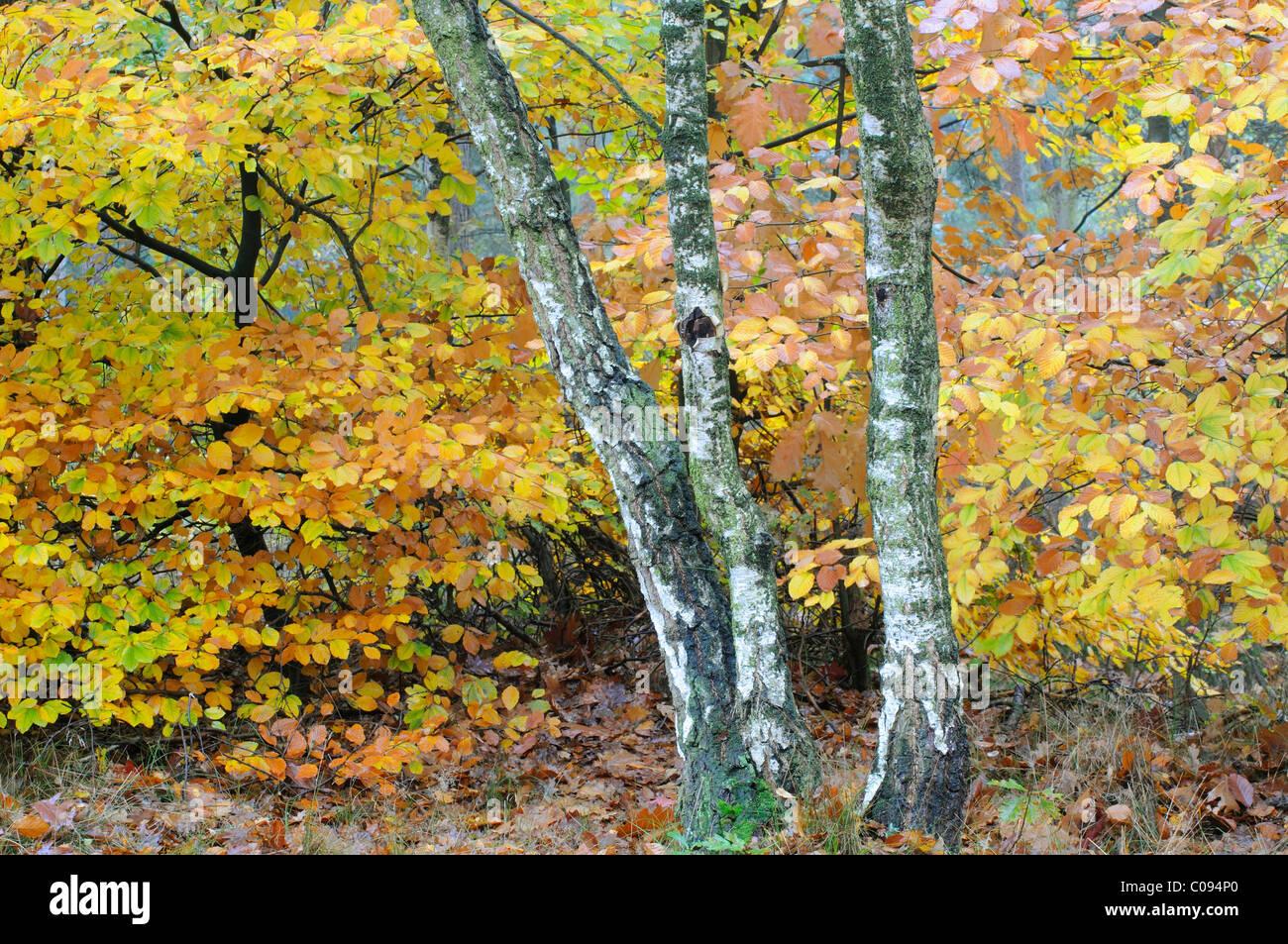 Birch trees (Betula pendula) and beech foliage (Fagus sylvatica) - Stock Image