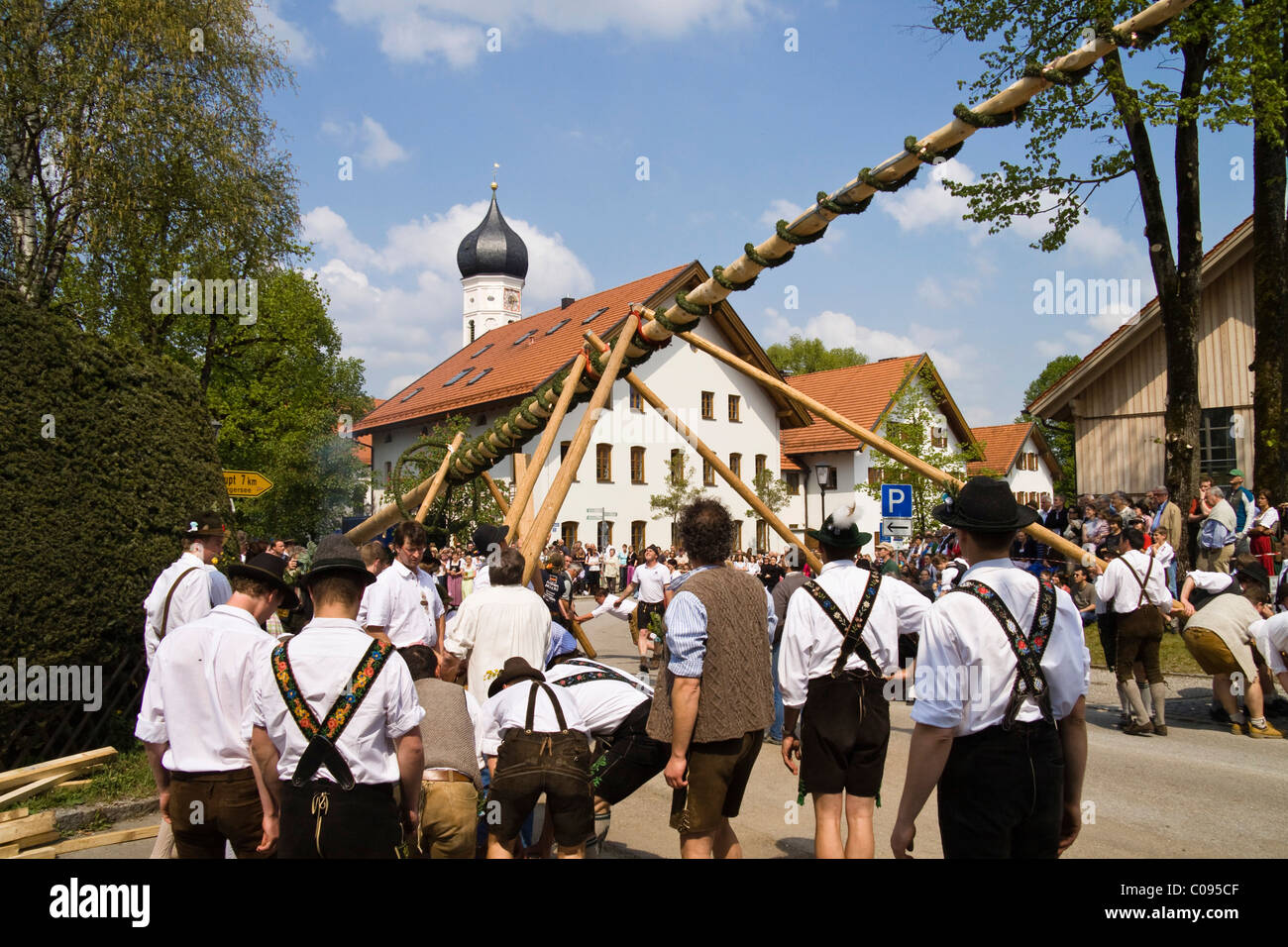 Setting up the traditional maypole in Iffeldorf, Upper Bavaria, Germany, Europe - Stock Image