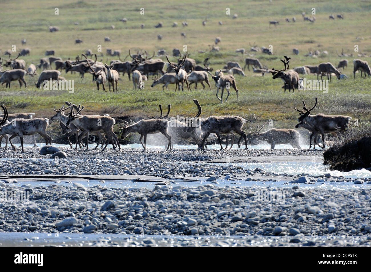 View of the Porcupine Caribou herd crossing the Hulahula River near Old Man Creek during their annual migration - Stock Image