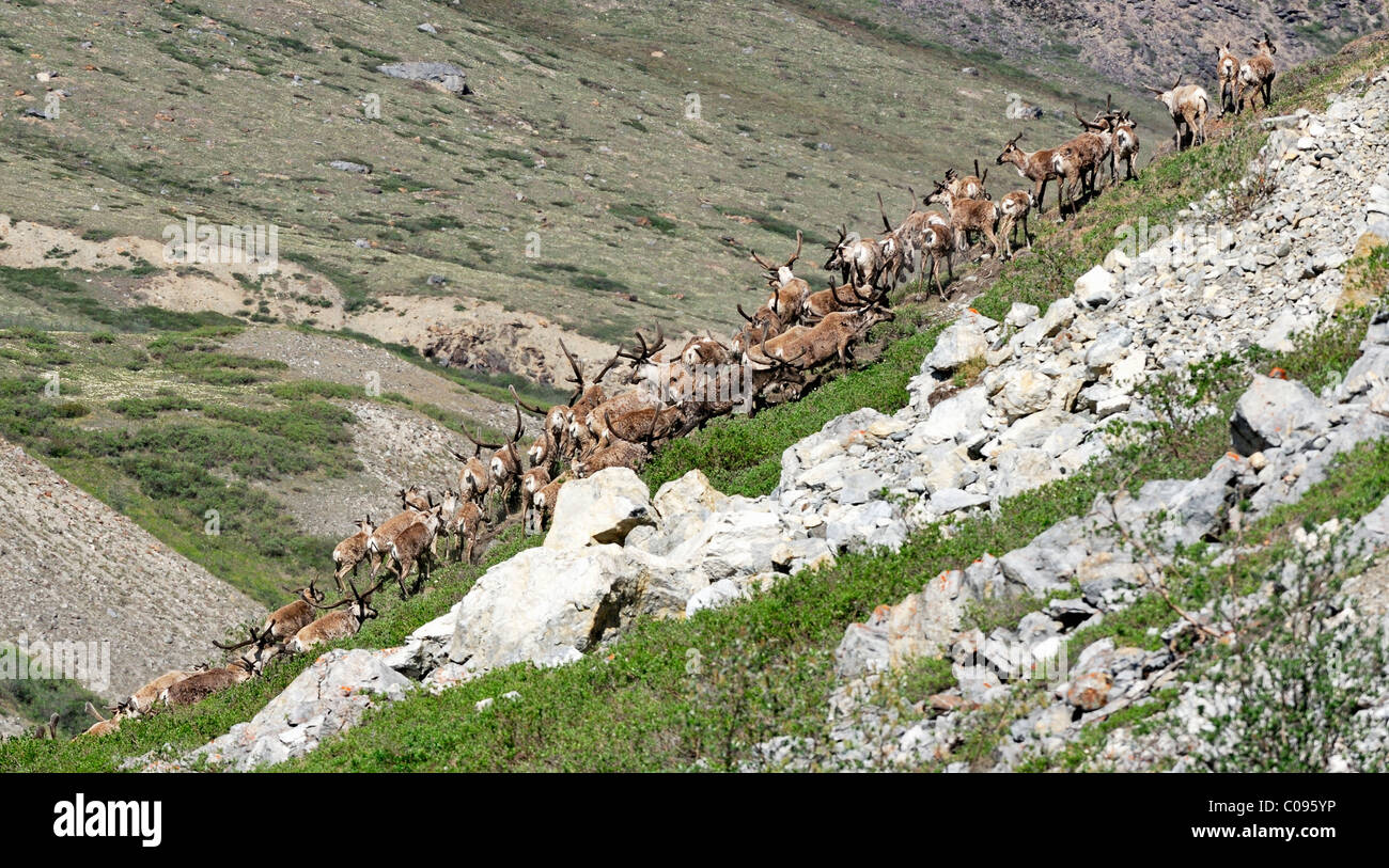 Porcupine Caribou herd climbing a steep bank after swimming across the Hulahula River during their annual migration - Stock Image