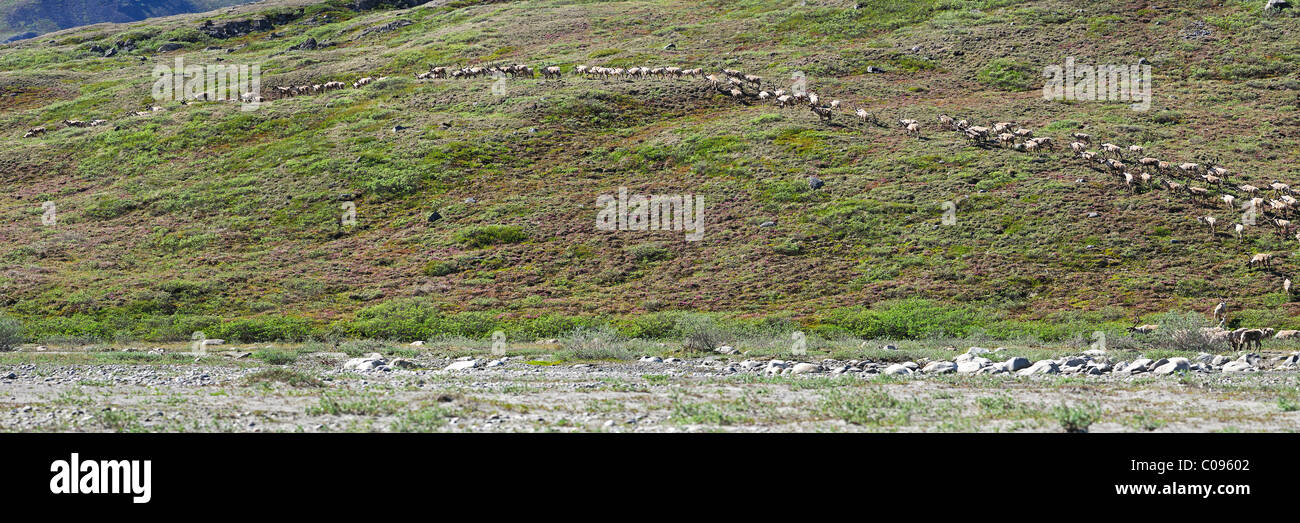 View of the Porcupine Caribou herd heading up the bank from a gravel bar by Hulahula River in ANWR, Arctic Alaska, - Stock Image