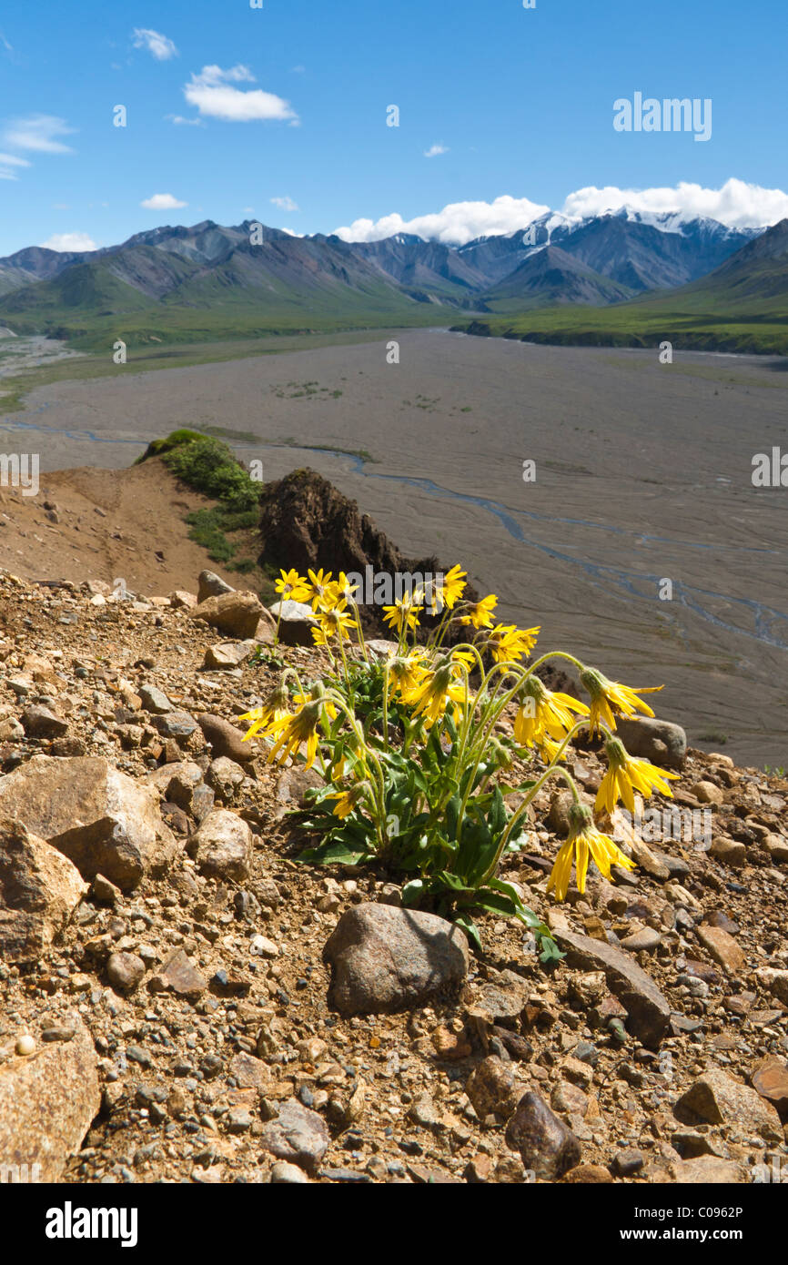 Alpine Arnica wildflowers grows on a bluff overlooking the Thorofare River Valley, Denali National Park and Preserve, - Stock Image