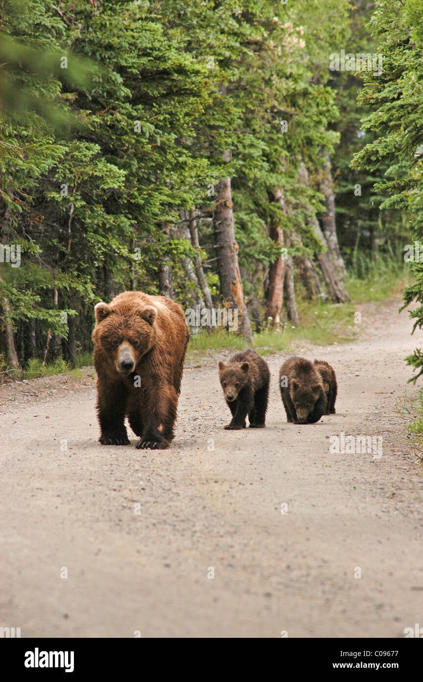 Grizzly sow and cubs walk down the main road near Brooks Camp, Katmai National Park and Preserve, Southwest Alaska, - Stock Image