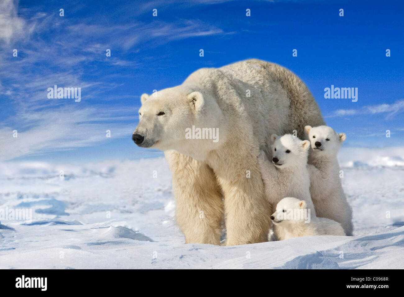 View of Polar Bear sow with her triplet cubs on the wind swept plains of Wapusk National Park, Manitoba, Canada, - Stock Image