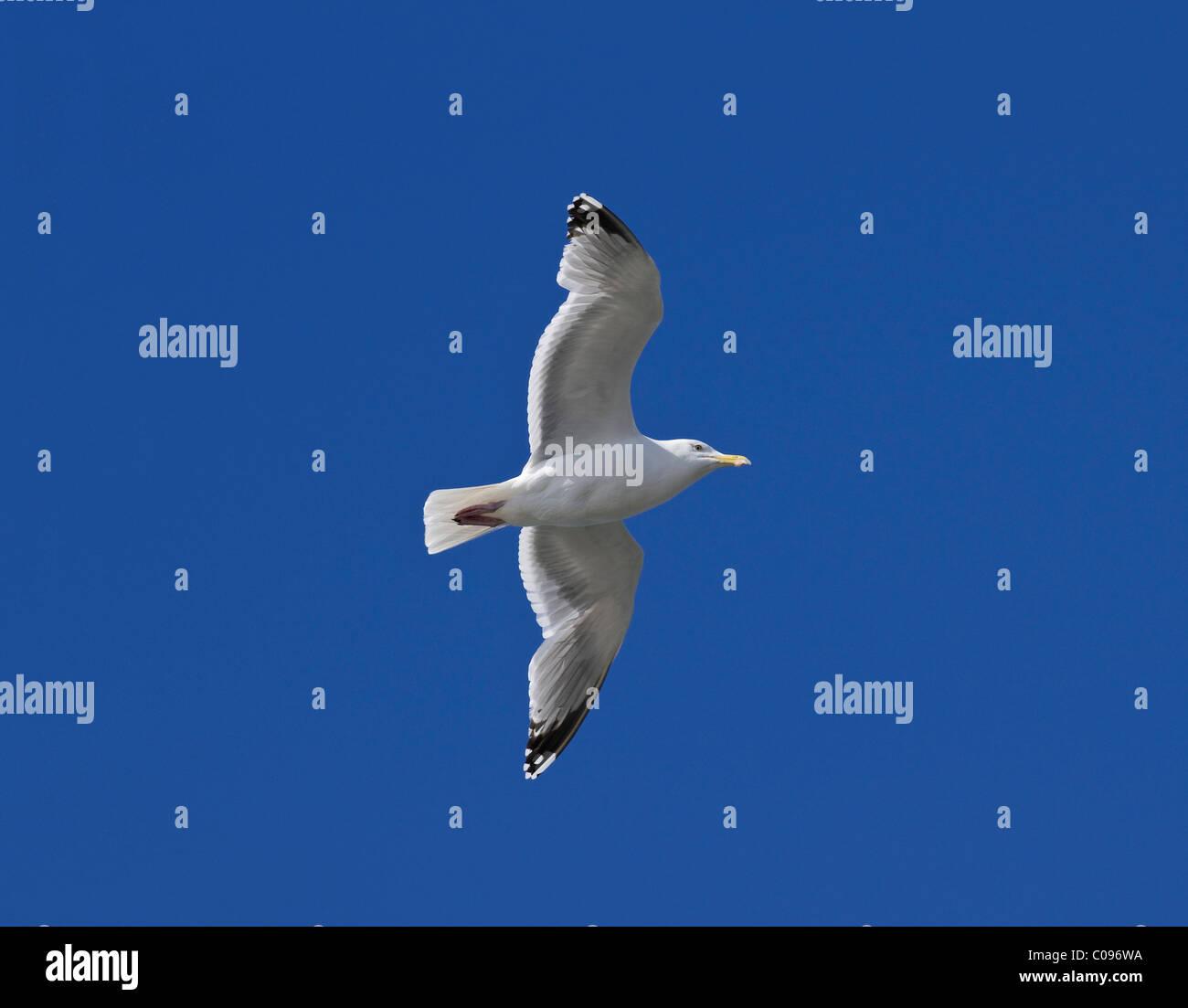 Herring gull (Larus argentatus in) gliding - Stock Image
