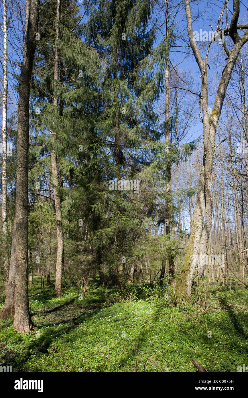 Riparian forest in springtime with some old spruce trees in foreground and young stand and blue sky in background - Stock Image