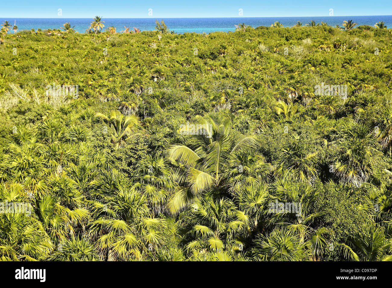 tropical palm tree jungle in Sian Kaan near Tulum - Stock Image