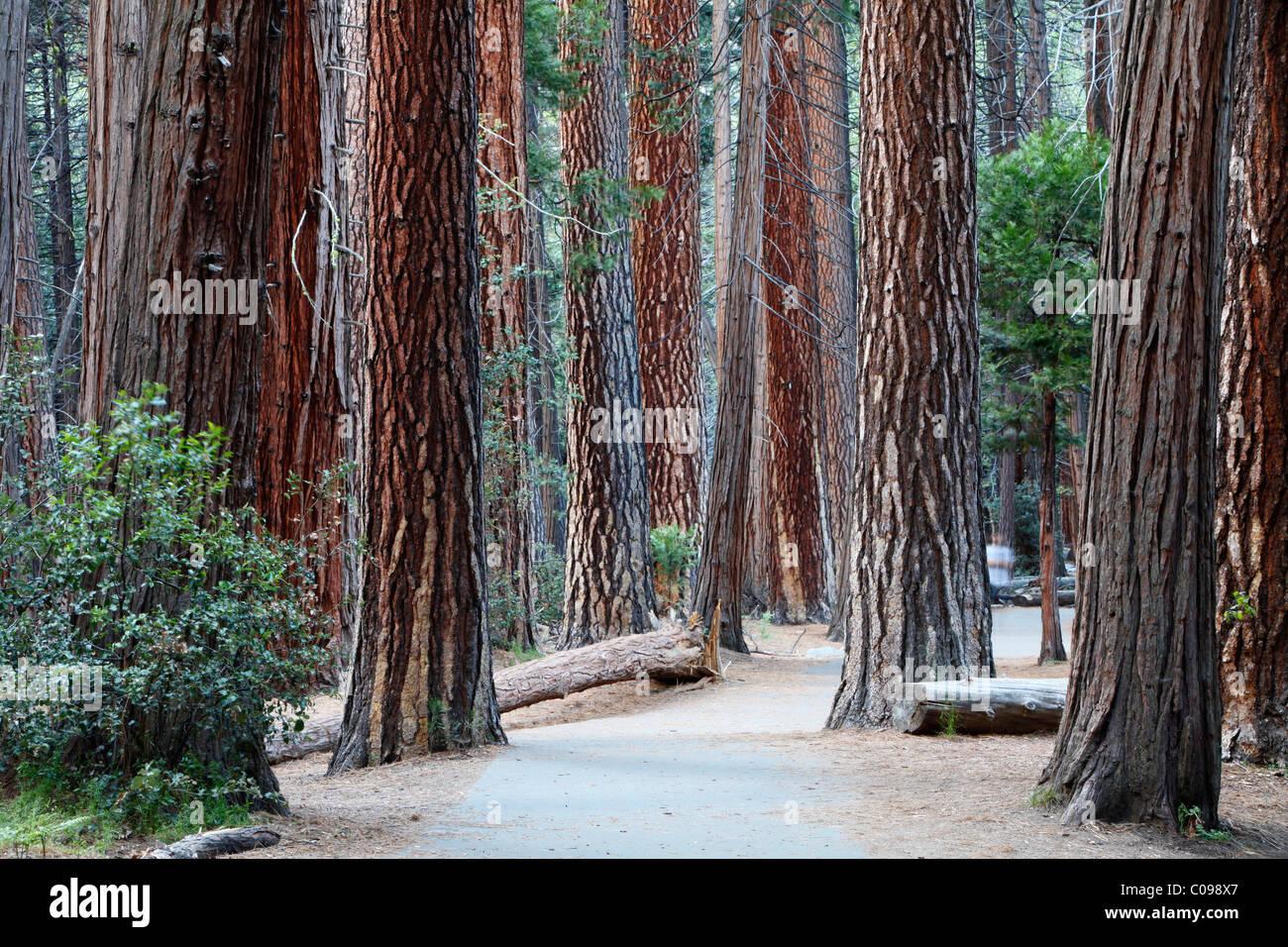 Redwoods, sequoias (Sequoioideae), Yosemite National Park, California, USA - Stock Image