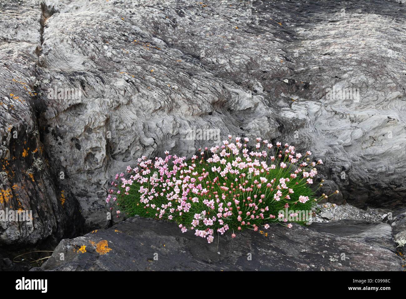 Thrift, Sea-pink (Armeria maritima) on rock, Beara Peninsula, Cork, Republic of Ireland, British Isles, Europe - Stock Image