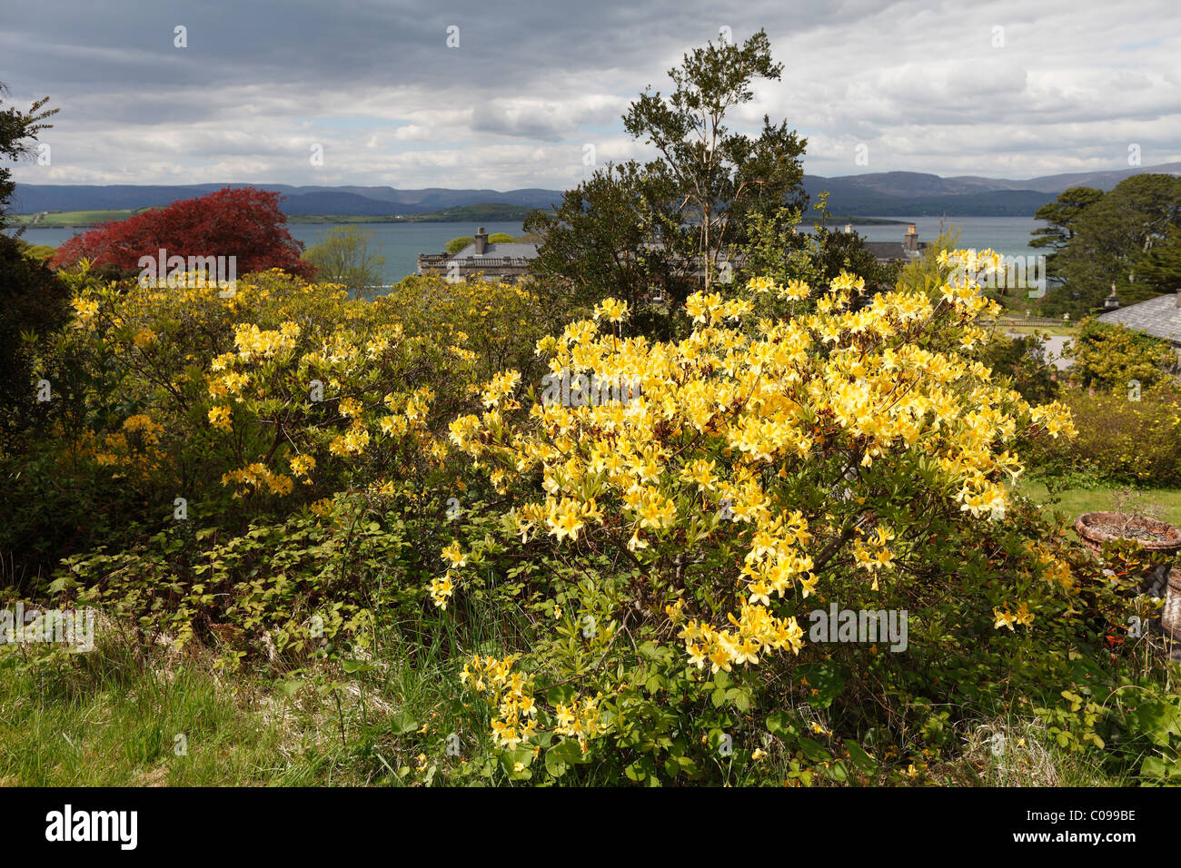 Yellow flowering rhododendron, Bantry House, West Cork, Republic of Ireland, British Isles, Europe - Stock Image