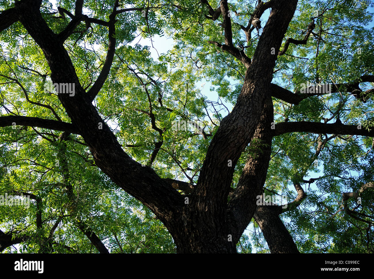 Gulmohar tree seen from bellow in Rajasthan , India . Asia . - Stock Image