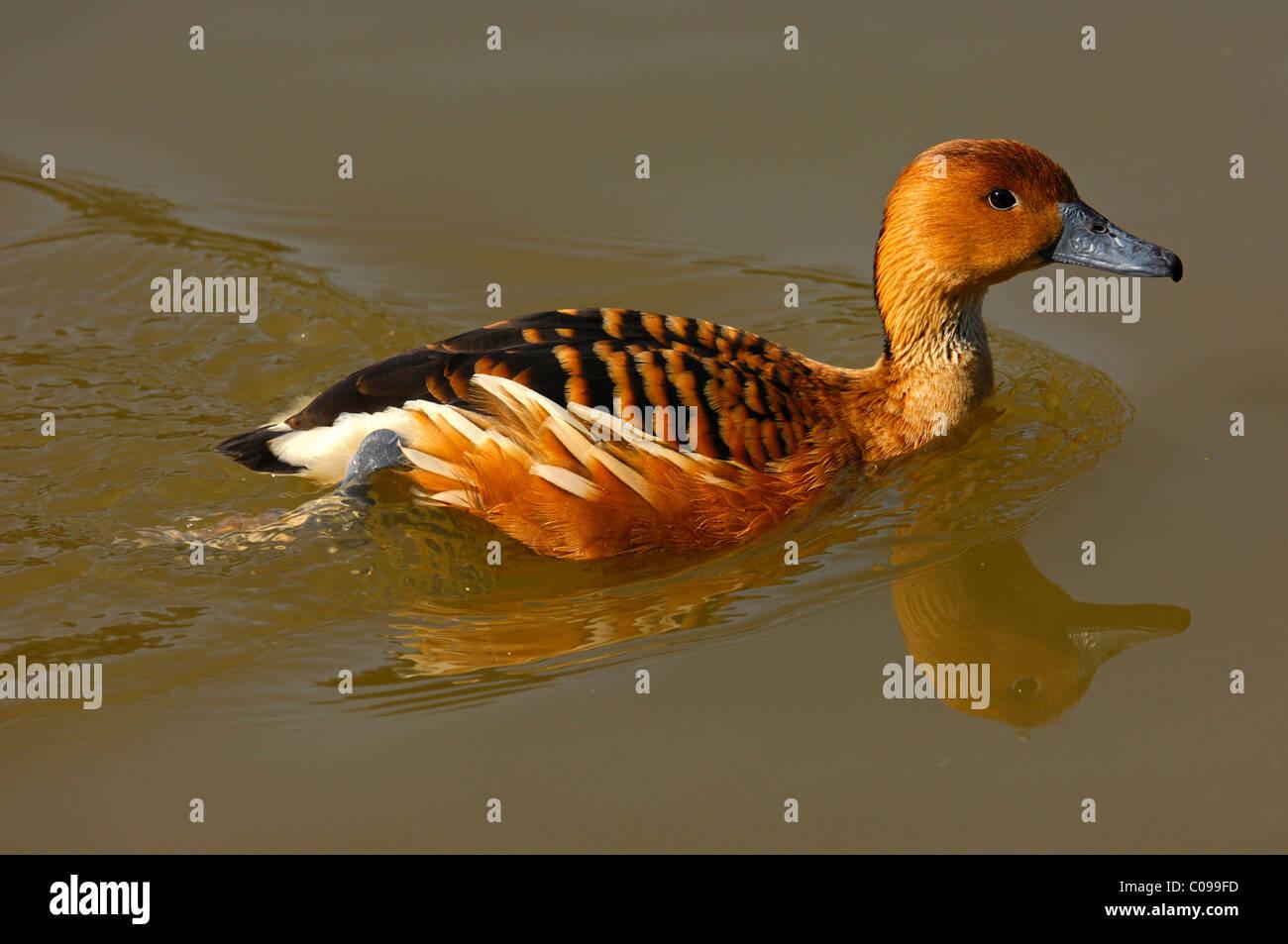Fulvous Whistling Duck (Dendrocygna bicolor) Stock Photo