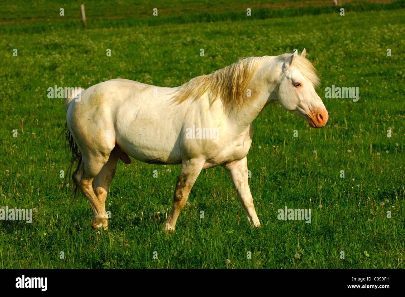 Hanoverian stallion, white stallion in a paddock - Stock Image