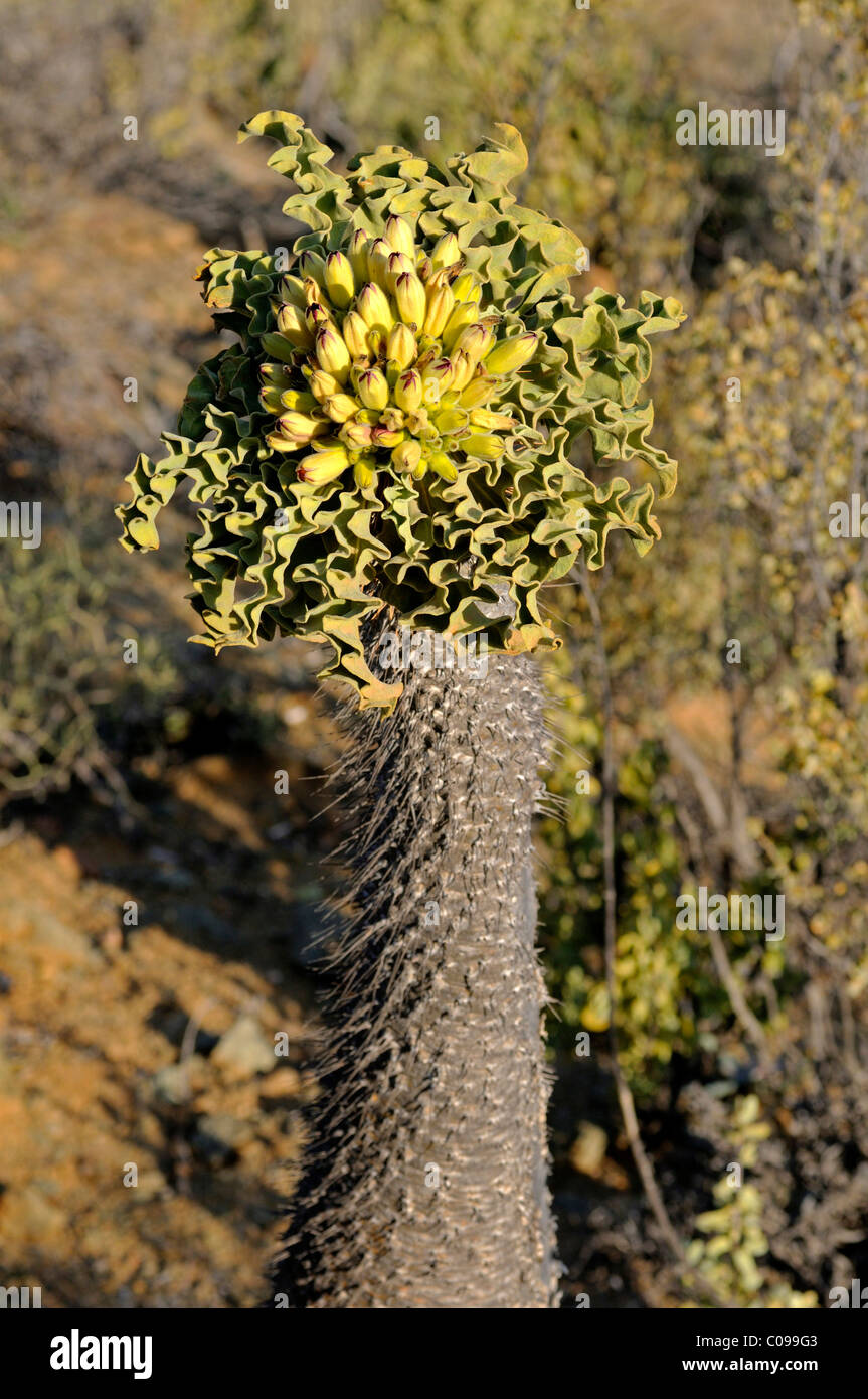 Halfmens (Pachypodium namaquanum) with inflorescence in habitat, Richtersveld National Park, South Africa - Stock Image