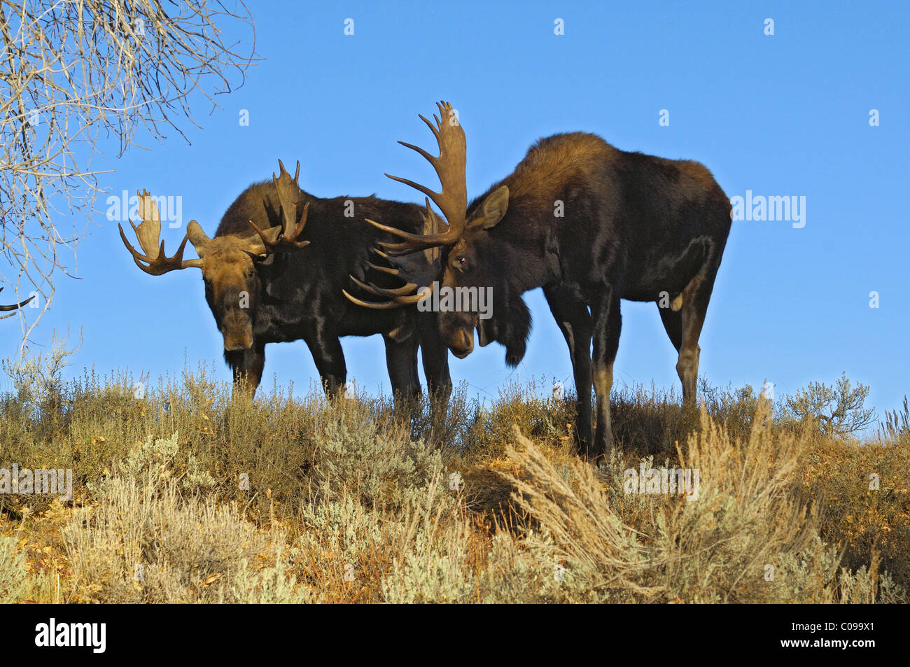Bull Moose sparring. - Stock Image