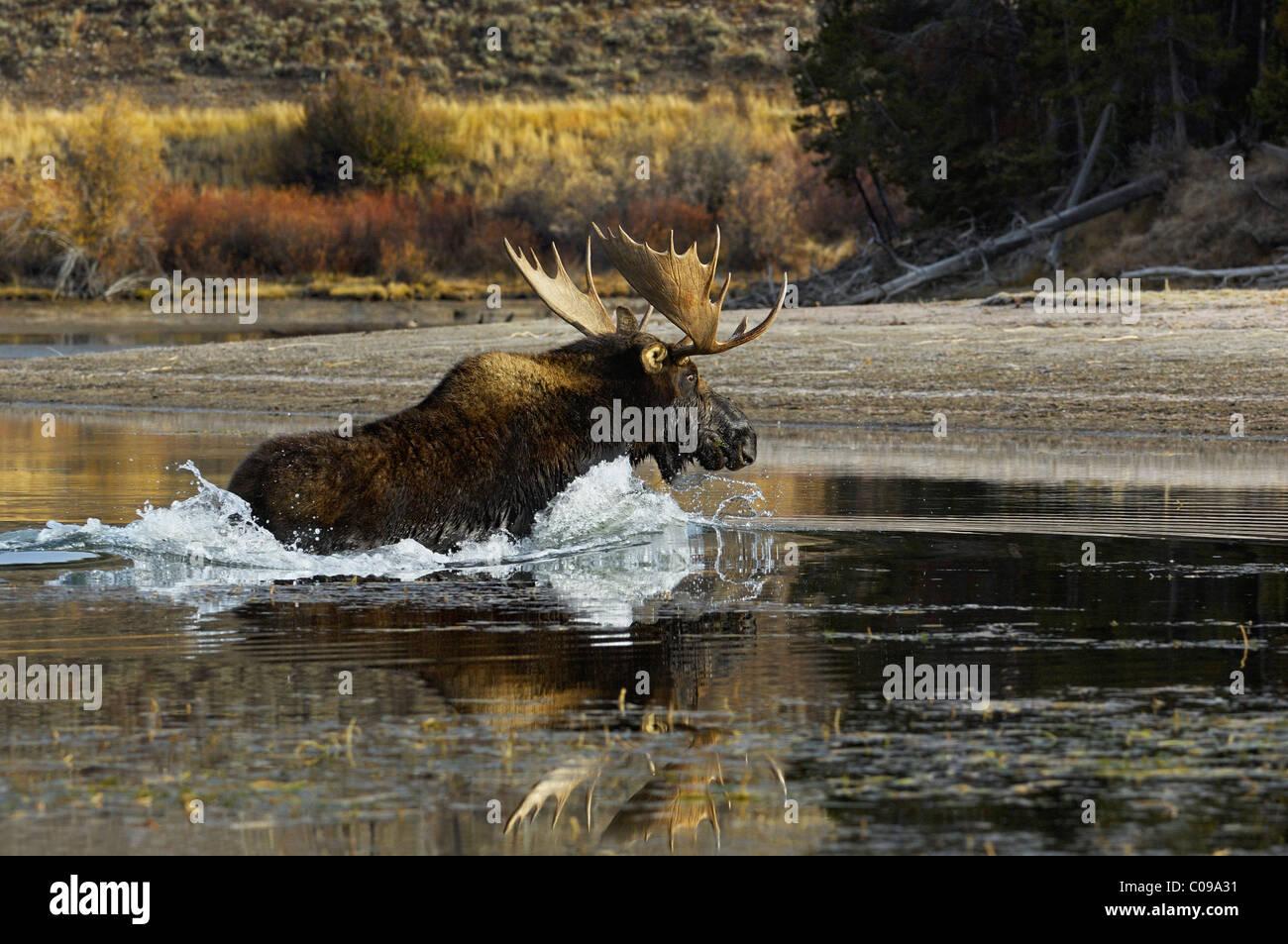 Bull Moose racing across the Snake River in Grand Teton National Park. - Stock Image