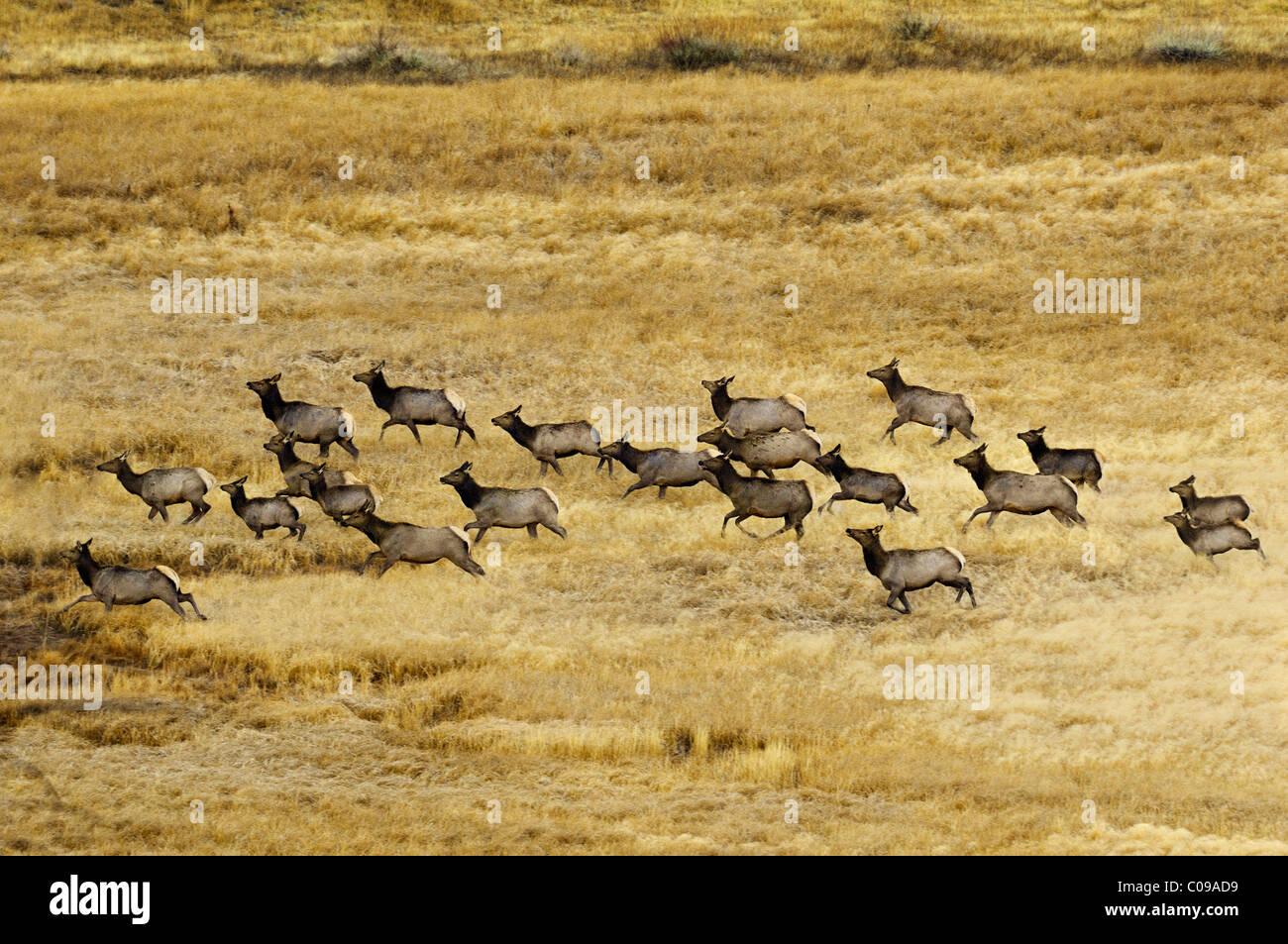 Elk Running Hard in a golden meadow. - Stock Image