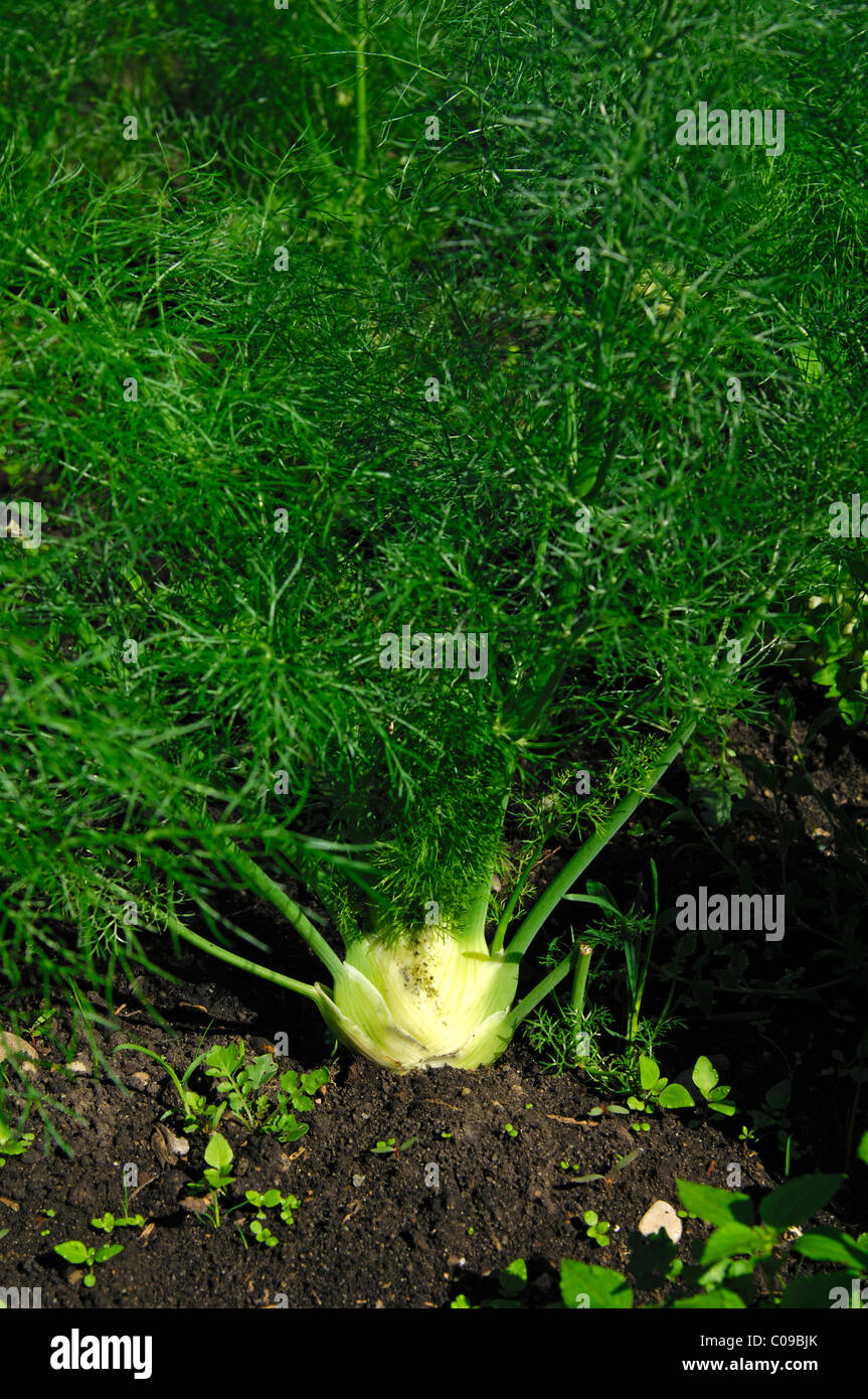 Cultivation of fennel, Grosses Moos or Grand Marais vegetable-growing area, Seeland Region, Switzerland, Europe - Stock Image