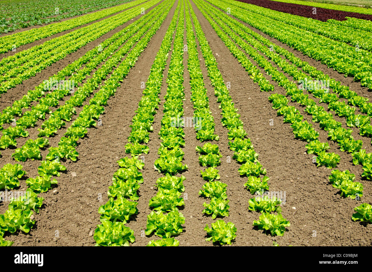 Outdoor cultivation of iceberg lettuce - Stock Image