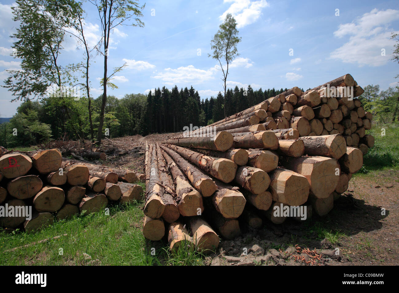Timber harvesting, timber, spruces lying on the road, cleared area behind, Wipperfuerth, North Rhine-Westphalia, - Stock Image