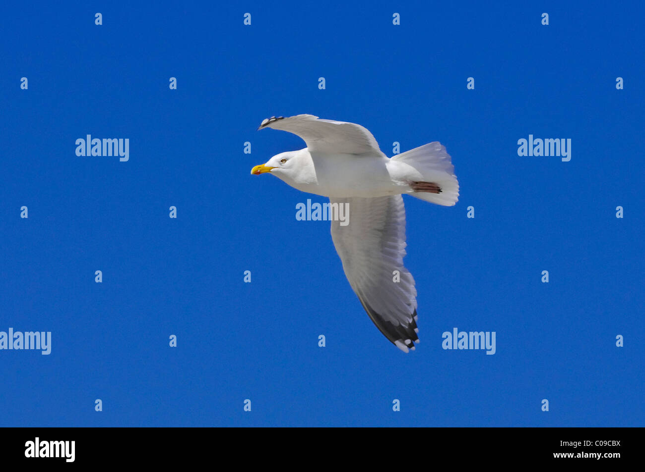 Herring gull (Larus argentatus in) in flight - Stock Image
