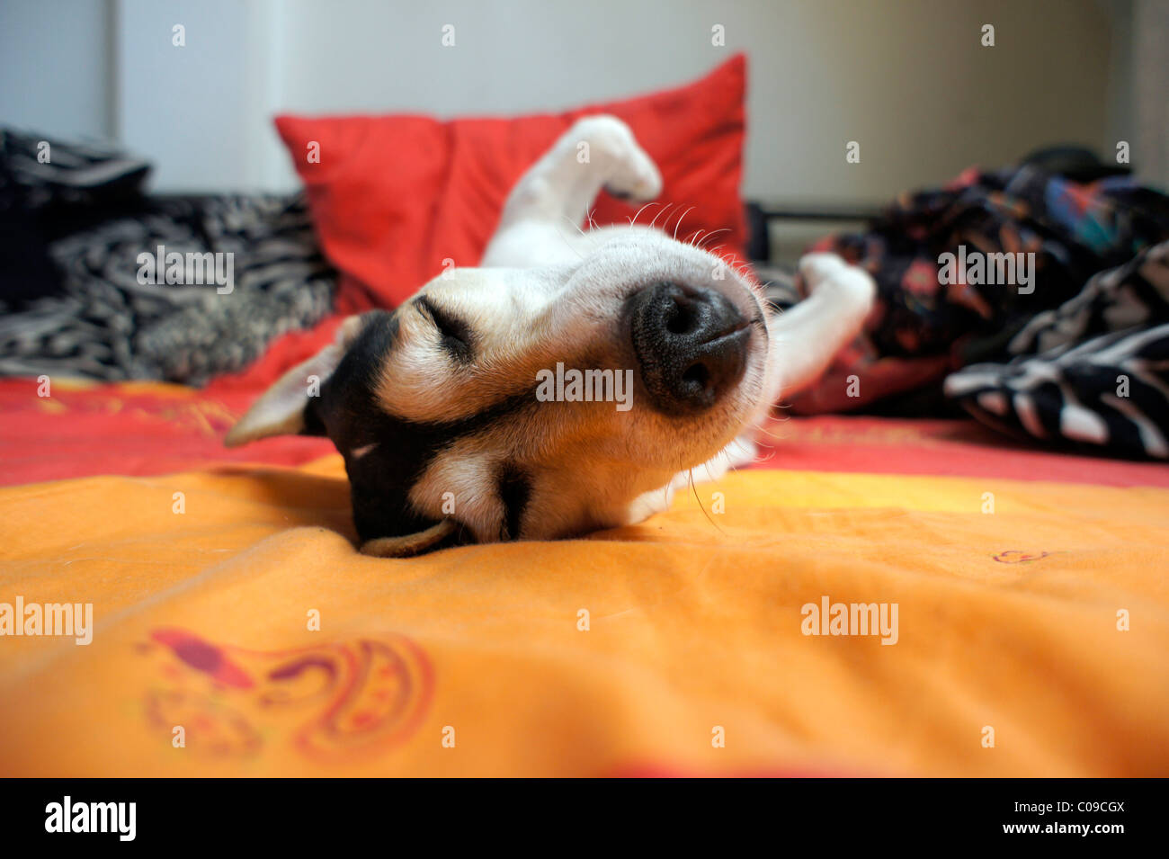 Sleeping Jack Russell - Stock Image