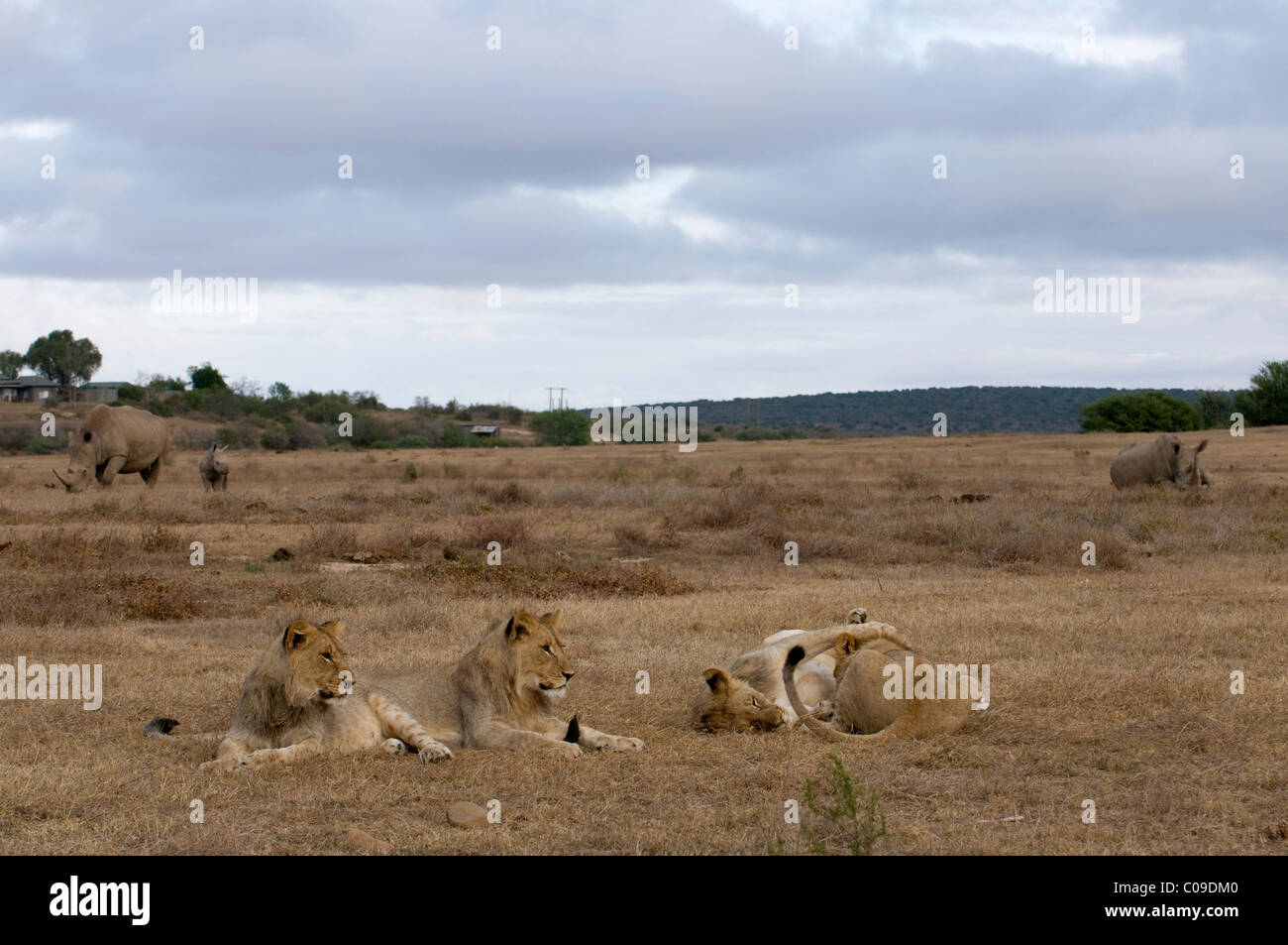 Young Lions and White Rhinos, Kwandwe Game Reserve, Eastern Cape, South Africa - Stock Image