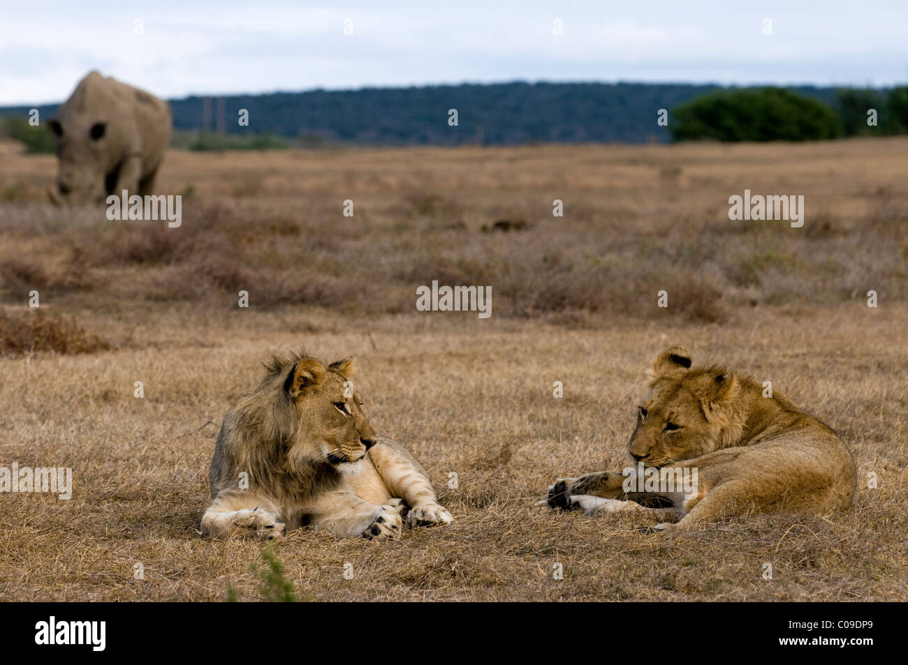 Young Lions and White Rhino, Kwandwe Game Reserve, Eastern Cape, South Africa - Stock Image